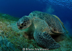 A green turtle on Marsa Abu Dabab diving site; tokina 10-17 by Blaza Jovanovic 